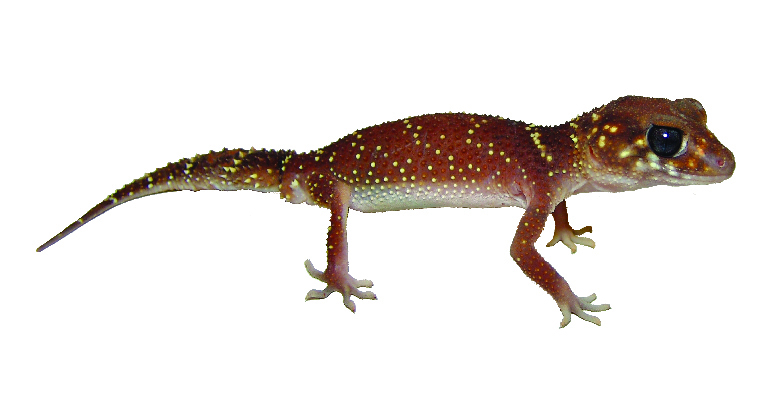 Underwoodisaurus milii thick-tailed gecko